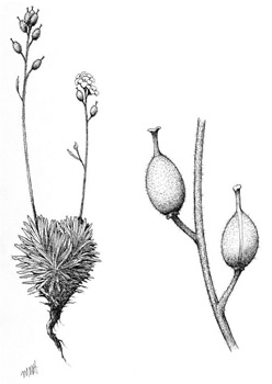 Illustration of a Hairy Braya plant with a close-up view of two fruits (see long description below).
