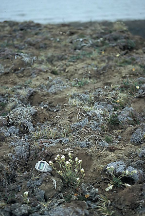 Photo of Hairy Braya habitat with flowering Hairy Braya plants clearly visible in the foreground (see long description below).