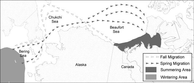 Figure 1. Generalized seasonal occurrence and migration corridor for the Bering-Chukchi-Beaufort bowhead whale population (modified from COSEWIC status report 2004).