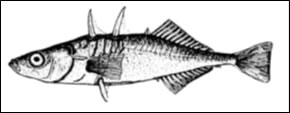 Giant Threespine Stickleback