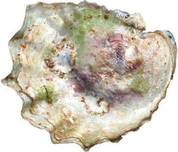 Photo of inner surface of an Olympia Oyster Ostrea lurida valve.