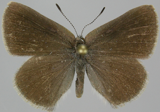 Dorsal wing surfaces of AB male specimen of Half-moon Hairstreak