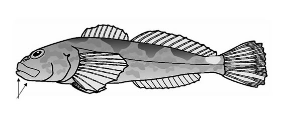 Line drawing of the Coastrange Sculpin (Cultus Population).
