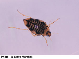 Hungerford's Crawling Water Beetle. Photo © Steve Marshall