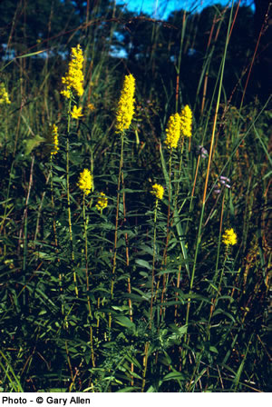 Showy Goldenrod (Boreal population). Photo © Gary Allen