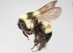 Photo of a female worker specimen of Bombus affinis collected in 2009 at Pinery Provincial Park, Ontario.