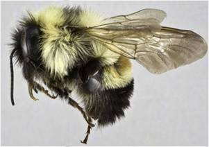 Photo of a male specimen of Bombus affinis collected in 2005 at Pinery Provincial Park, Ontario.
