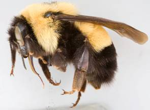 Photo of a Bombus affinis queen specimen collected in 1971 at the Thousand Islands, Ontario.