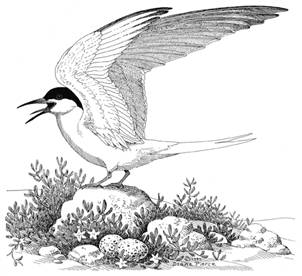 Illustration of a Roseate Tern Sterna dougallii with wings outstretched and perched on a rock.