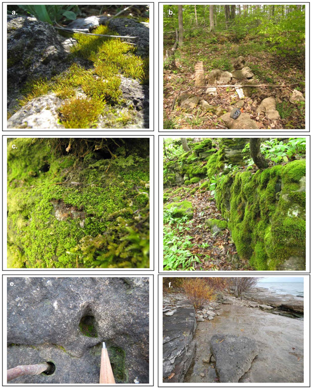 Photos of the Porter's Twisted Moss (see long description below)