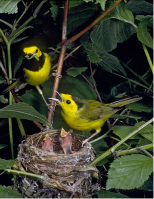 Photo of a male and female Hooded Warbler Setophaga citrina attending a nest containing two nestlings. Both male and female birds have olive-green upperparts and a bright yellow underside. The male has a well-defined black hood, contrasting with bright yellow cheeks and forehead. The female has a small amount of black on the top of the head.