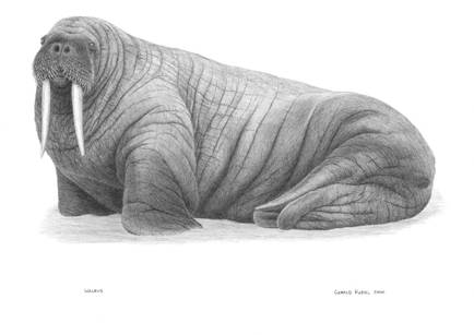 Atlantic Walrus.