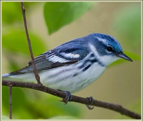 Photo of the Cerulean Warbler