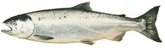 Figure 1a: Adult coho salmon (marine phase).