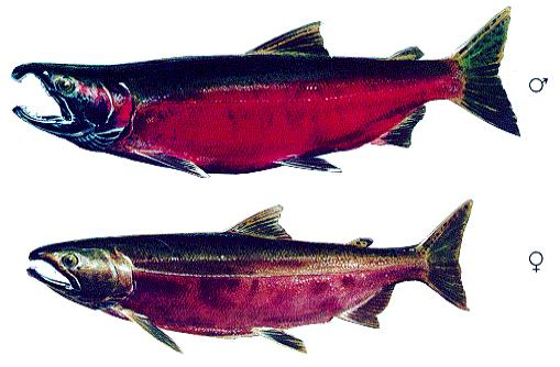 Figure 1b: Adult coho salmon (male and female) showing spawning morphology and colouration.