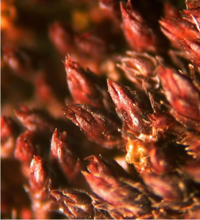 Figure 1 is a close-up photograph of a patch (approximately 2.5 mm across) of Columbian carpet moss.