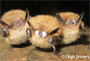 photo of bats © Hugh Broders