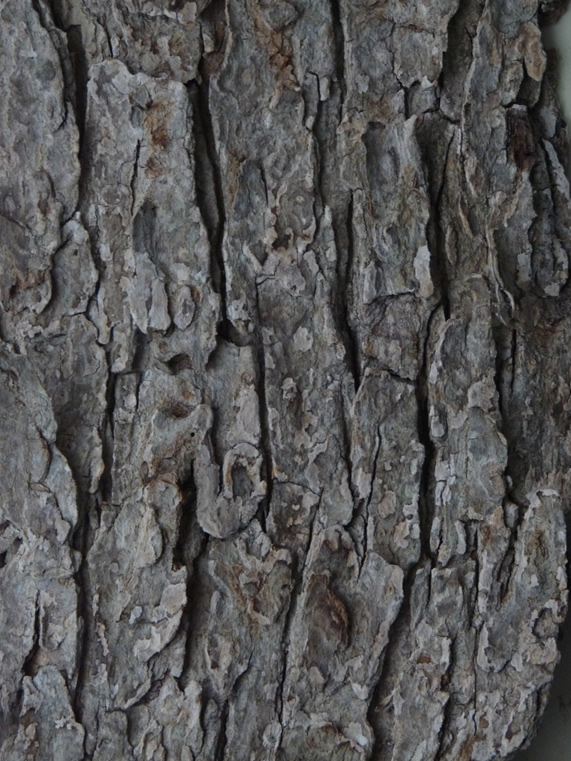 Red Mulberry bark from a mature tree