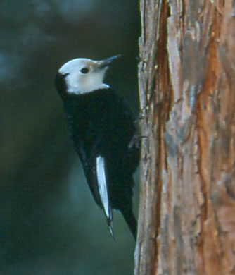 Photo of: White-headed Woodpecker (Picoides albolarvatus)