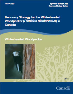 Cover of the publication: Recovery Strategy for the White-headed Woodpecker (Picoides albolarvatus) in Canada [PROPOSED] – 2011