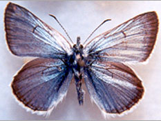 Figure 1a. Greenish Blue (insulanus) subspecies, dorsal surface (male). Photo: J. Heron.