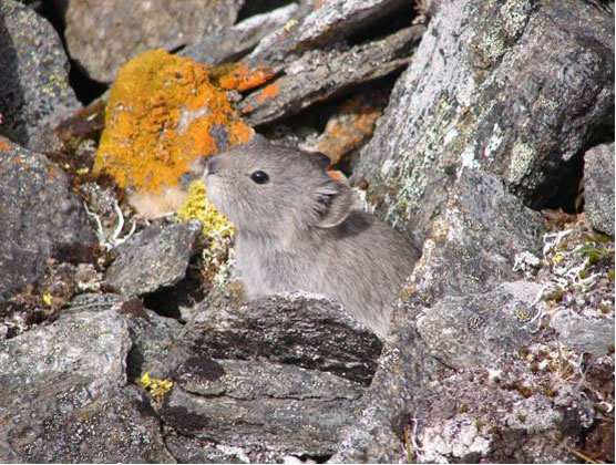 Photograph of an adult Collared Pika in talus habitat located  in southwestern Yukon.
