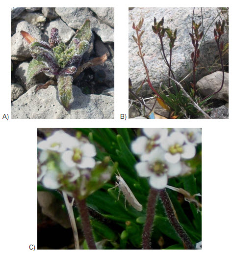 Three photo images showing Fernald's Braya plants affected by pests and pathogens (see long description below).