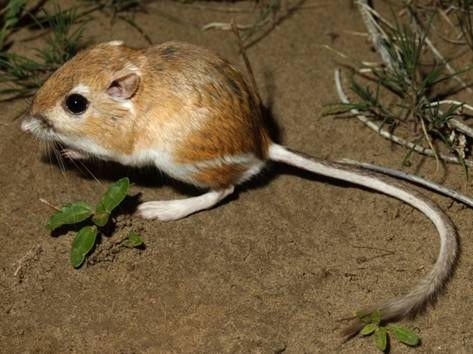Photo: Ord's Kangaroo Rat