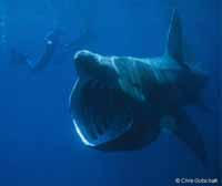 Basking Shark (Pacific Population)