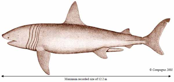 Illustration of the Basking Shark