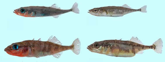 Photo of Vananda Creek sticklebacks showing a Limnetic male (top left) and female (top right) and a Benthic male (bottom left) and female (bottom right).