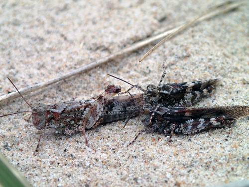 Photo of three Lake Huron Grasshoppers  (see long description below)