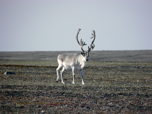 Photo of a single bull Peary Caribou (see long description below)