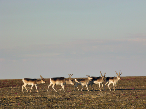 Photo of five Peary caribou (see long description below)