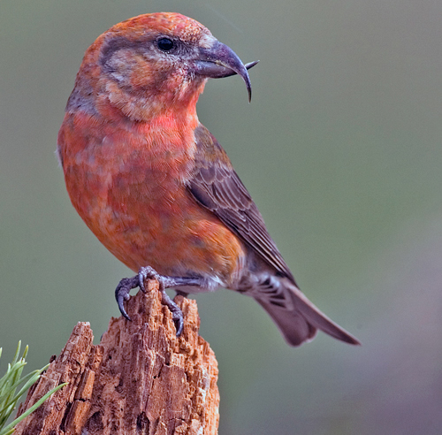 Photo of a Red Crossbill (see long description below)