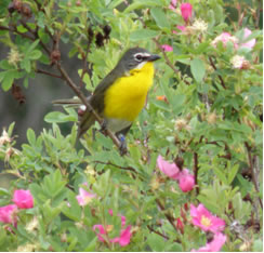 Photo of a Yellow-breasted Chat.