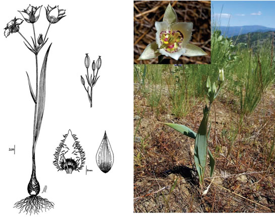 Line drawing and photo of Lyall's Mariposa Lily.
