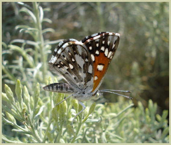 Photo de Mormon Metalmark