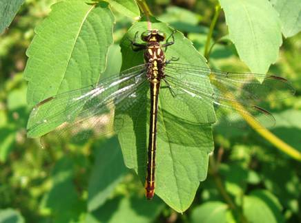 Photo of an adult female Laura's Clubtail.