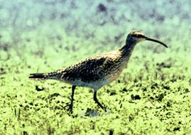 Figure 1. Eskimo Curlew (adapted from photo by Don Bleitz)