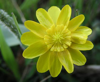 California Buttercup in flower.