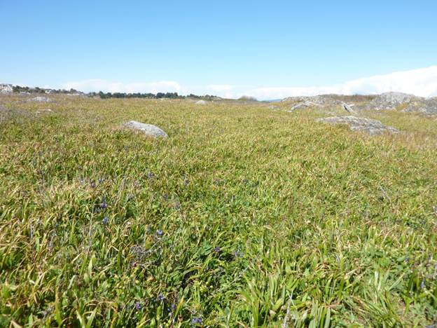 Photograph of Habitat of California Buttercup at Lesser Trial Island