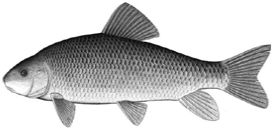 Copper Redhorse (Moxostoma hubbsi).