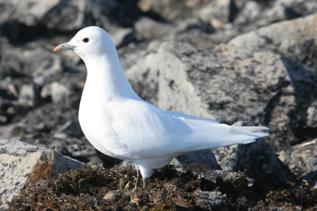 Figure 1 is an image of an adult Ivory Gull photographed by M. Mallory.