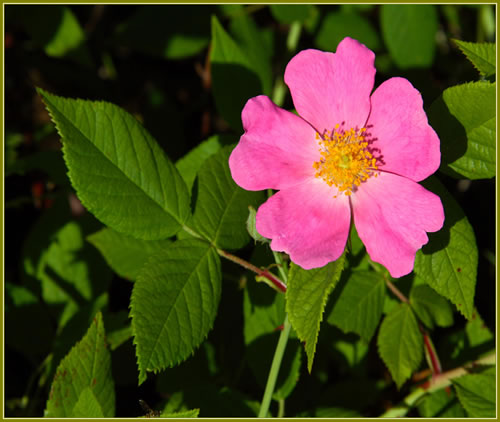Photo: Climbing Prairie Rose