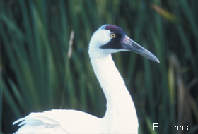 Figure 1. Plumage de la Grue blanche adulte. B. Johns