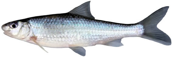 Photo of a Silver Chubb Macrhybopsis storeriana (lateral view). The rounded snout greatly overhangs the mouth, and the large eye is on the upper half of the head. The silvery sides lack markings, and the origin of the dorsal fin is anterior to the origin of the pelvic fin.
