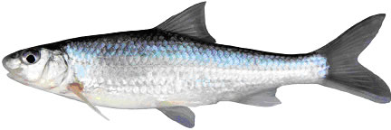 Photo of a Silver Chubb (lateral view). The rounded snout greatly overhangs the mouth, and the  large eye is on the upper half of the head. The silvery sides lack markings,  and the origin of the dorsal fin is anterior to the origin of the pelvic fin.