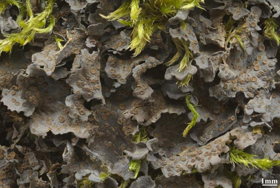 Photo of the Peacock Vinyl Lichen showing habit.