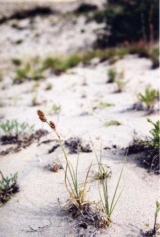 Figure 2: Carex sabulosa on the TakhiniRiversouth dunes.
